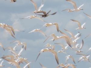 Gulls 2015_08_06
