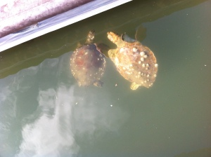 Juvenile sea turtles eating around the floating docks