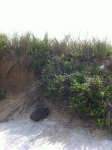 2015_08_23 Gopher Turtle on Marineland beach