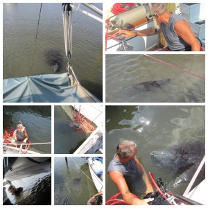 2015_08_26 Bottom cleaning with manatees