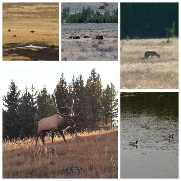 Wildlife, Yellowstone National Park